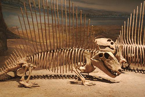 Dimetrodon fan spines